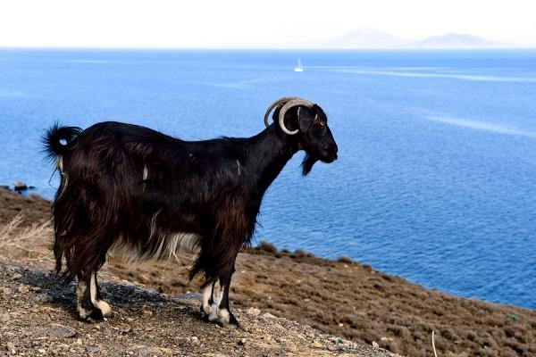 Looktrope Grèce ïle de Kos Chèvre