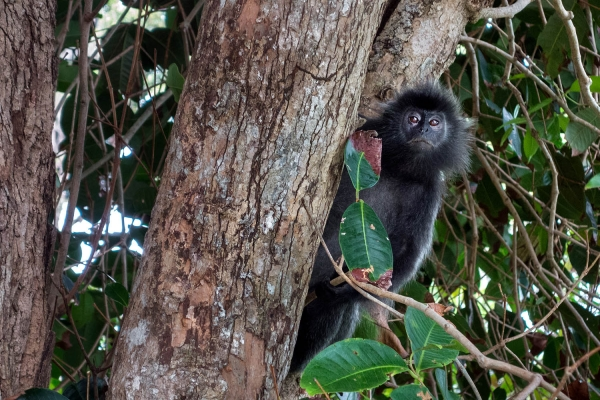 Looktrope Indonésie Banyan Tree Bintan Singe